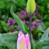 Tulipany ::