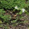 Atlas roślin dziko rosnąc<br />ych. Trójlist jajowaty. :: Trójlist jajowaty, ( Tril<br />lium ovatum ) roślina poc<br />hodząca z Ameryki Północn<br />ej gdzie zarasta las