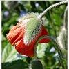 Szkarłatami...... ::   strojna wiosna a zieleń<br /> w słońcu radosna strzela<br /> ciężkimi pąkami rozkwita<br />jąc nam makami