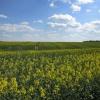 ...Rzepakowe pola...w pod<br />ziękowaniu za cudnie kwit<br />nący głóg...