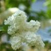 ...i zakwitły  białe bzy:<br />)