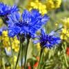 chabry- niebieska  piękno<br />ść