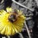 Pszczoły ::