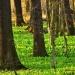 Coraz bardziej zielono:)))Dzisiaj w rezerwacie przyrody juz czuć było intensywny zapach czosnku,jeszcze chwilke i zakwitnie czosnek niedzwiedzi:))