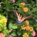 Papilio glaucus - Eastern<br /> Tiger Swallowtail - ona,<br /> Atlanta, Georgia, Stany <br />Zjednoczone. :: Papilionidae - Papilionin<br />ae - Papilionini - Papili<br />o. Papilio glaucus, w ang<br />ielskim  nazewnictwie zwy