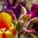 kolorowe tulipanki