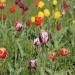 🌷🌷🌷Wielkomiejskie tulipan<br />y..... 😀 :: 📸&amp;copy;2017Piotr Chru<br />pala 📷 0387
