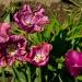 Tulipanki  na dzisiejszą <br />,słoneczną niedzielę. :: Dzisiaj już nie ma upału(<br />19 st) ale jest słoneczko<br />! Moje ostatnie tulipany <br />nareszcie rozkwitły!