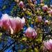 Koncert Magnolii w zielonym gaju na błękitnym niebie wszystko dla ciebie :)